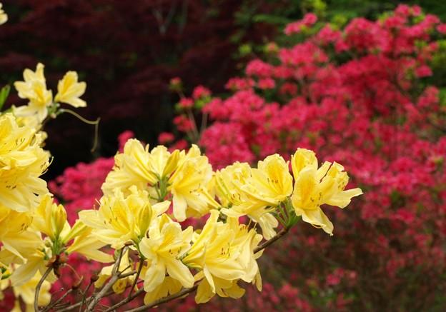 黄ツツジが目立ち咲く。
