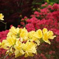 Photos: 黄ツツジが目立ち咲く。