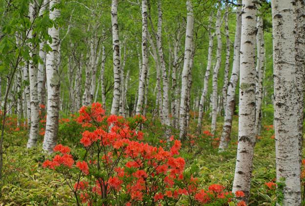 白樺林のレンゲツツジ。