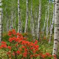 Photos: 白樺林のレンゲツツジ。