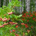 サラサドウダンの小さい花。