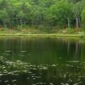 緑なる一沼にツツジ咲く。