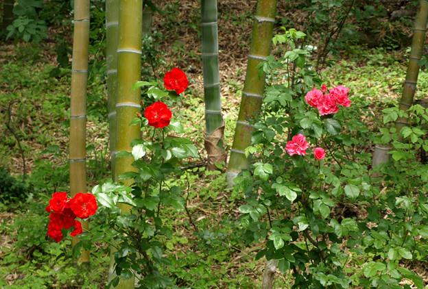 竹林の薔薇赤く。