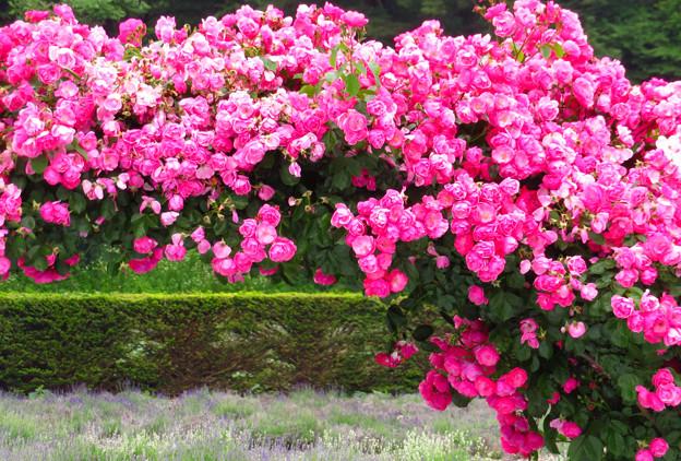 ピンクローズは密に咲いて。