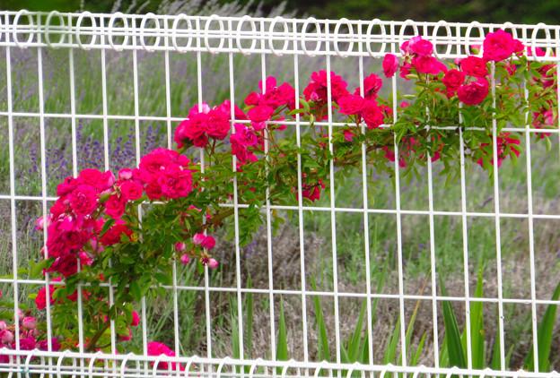 フェンスを這い咲くバラの花。