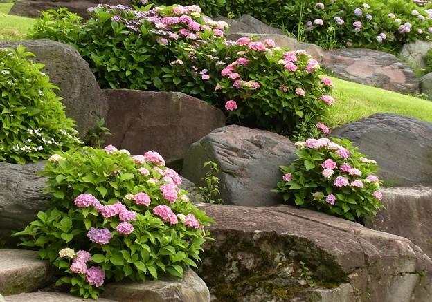石垣の紫陽花。