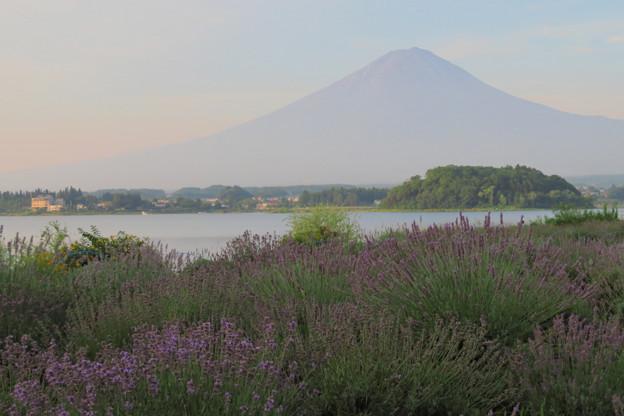Photos: 早朝のラベンダー畑。