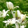 白百合咲くを知る。