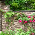 煉瓦塀に薔薇が伸びゆく。