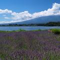 ラベンダー畑と隠す夏雲。