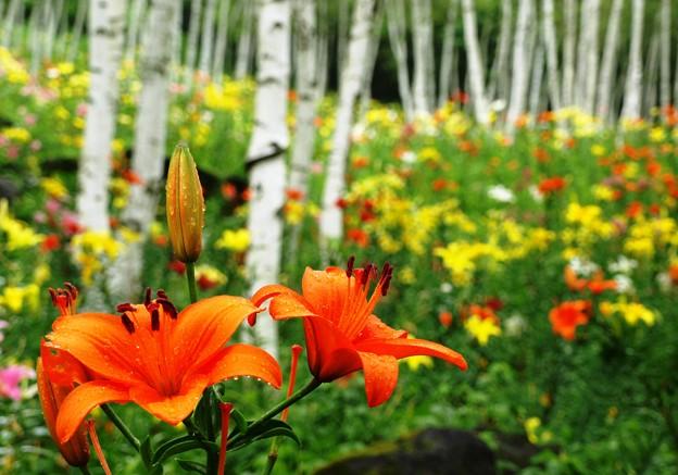 白樺林のオレンジリリー。