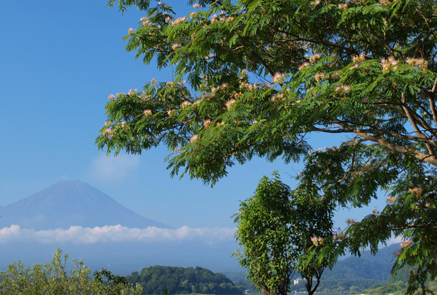 Photos: 目覚めの合歓の木。