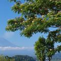 目覚めの合歓の木。