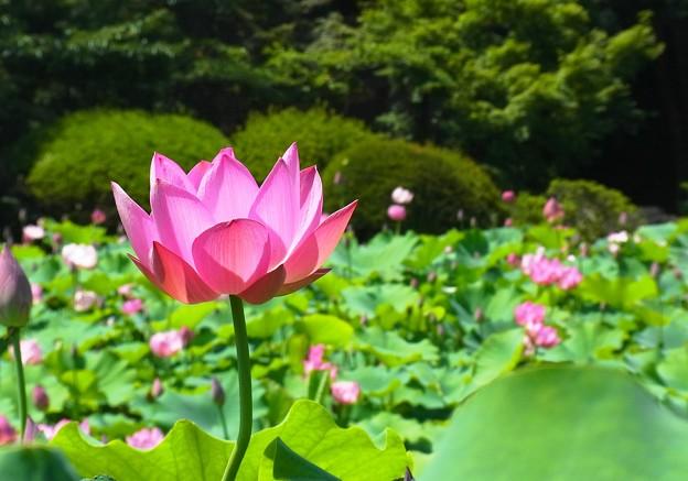 蓮の花の透けるピンク色。