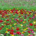カラーが楽しい百日草。
