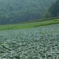 Photos: 高原のキャベツ畑。