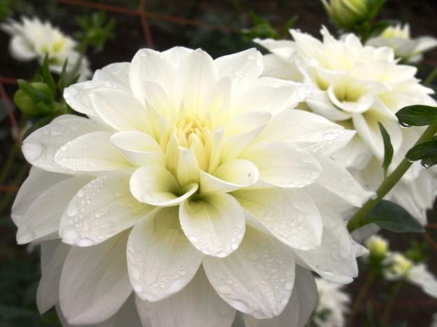 小雨にしっとり白ダリア。
