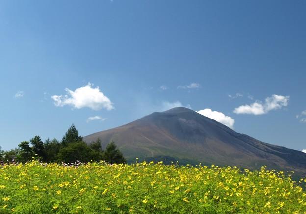 コスモス畑から浅間山を望む。