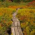 始まる草紅葉の木道を歩く。
