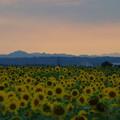 夕焼け前のひまわり畑