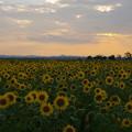 Photo: ひまわり畑と光芒