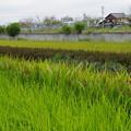 Photos: 色がいろいろ古代米