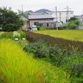 Photos: 古代米の田んぼ