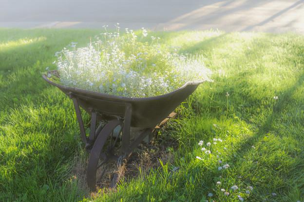 ふんわり…wheelbarrowと白い花♪