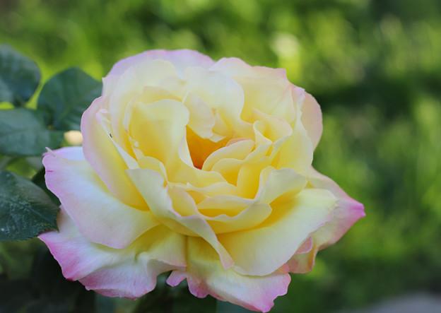 日陰の薔薇