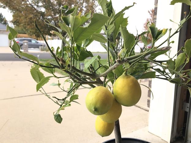 可哀想なレモンの木