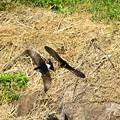 岩燕 巣作りの季節