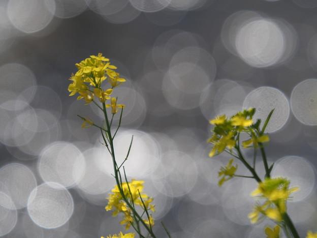 川辺の菜の花