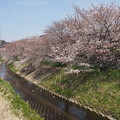 Photos: 川沿いの桜並木