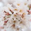 Photos: 桜玉
