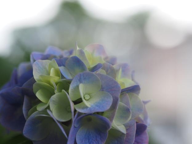 Photos: 紫陽花と玉ボケ