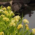 水辺の花菖蒲