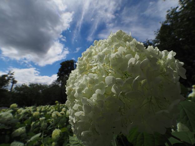Photos: 青い空、白い雲、アナベル