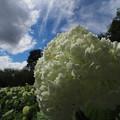 青い空、白い雲、アナベル