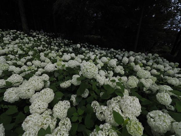 Photos: アナベルの森 Part2