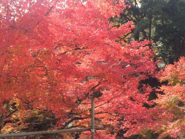 櫻井家庭園の紅葉 美しい日本庭園が見れます