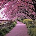 Photos: 花のトンネル