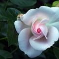 Photos: Aspirin Rose