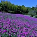コマチソウ咲く丘