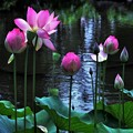 Photos: 極楽浄土に咲く花