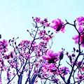 Photos: 紫木蓮