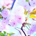 過ぎ行く桜の季節