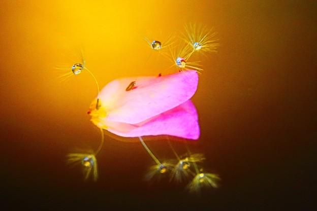 薔薇の花びらに立つ
