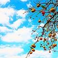 Photos: 柿と秋空