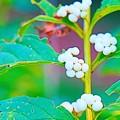 Photos: 白シキブ
