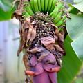 Photos: 緑のバナナと花?